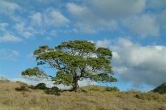 Magnificent lone Puhutakawa tree